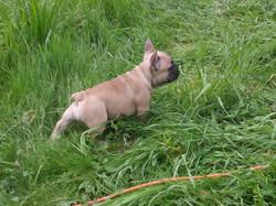 Fawn female French Bulldog puppy from Ol