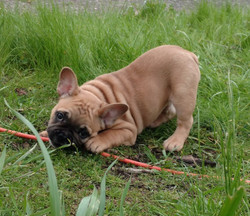 Fawn male French Bulldog puppy from Oliv