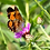 Thumbnail: Butterfly Mix - Wildflower Seed balls