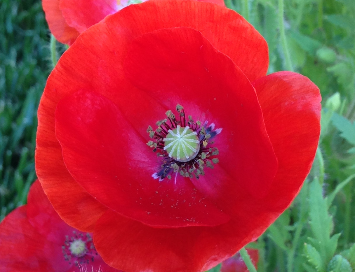 Field Poppy.jpg