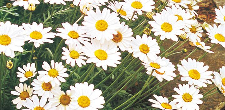 Oxeye Daisy.jpg