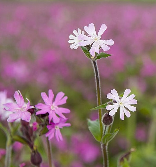 Red and White Campion.jpg