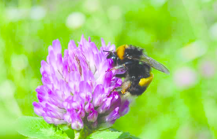 Buff-tailed-bumblebee-Bombus-terrestris-