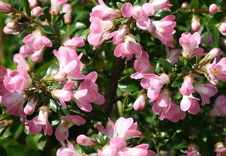 Escallonia Apple Blossom.jpg