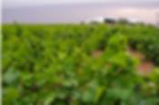 organic vines, organic, organic vineyards, vineyards, spanish vinyards, spanish wine, wine, la mancha, campo de criptana