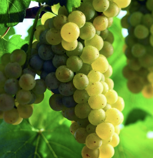 airen grapes, wine grapes, white wine, spanish wine