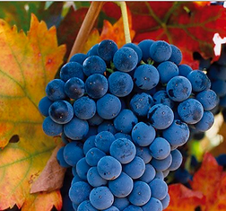 grapes, tempranillo, wine grapes, spring harvest, wine