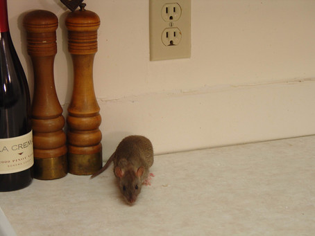 Do I Have A Rodent Infestation, And What Does That Mean?