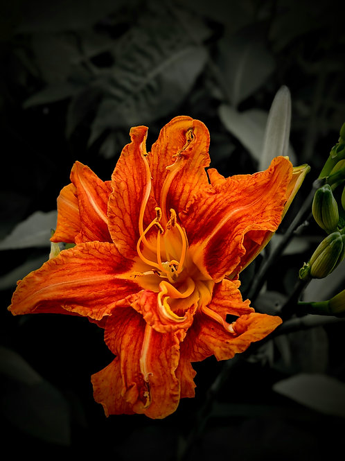 Asher's Lily