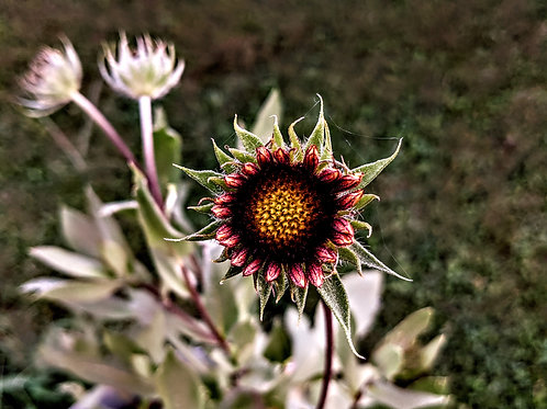 Blanketflower in Bloom by Asher