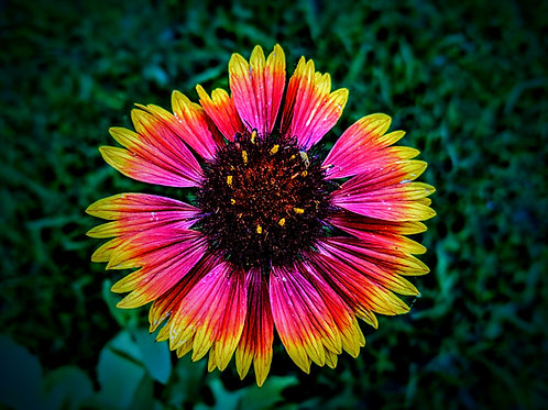 Asher's Blanketflower #2