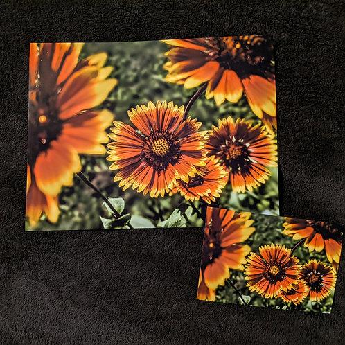 Retro Blanketflowers by Asher