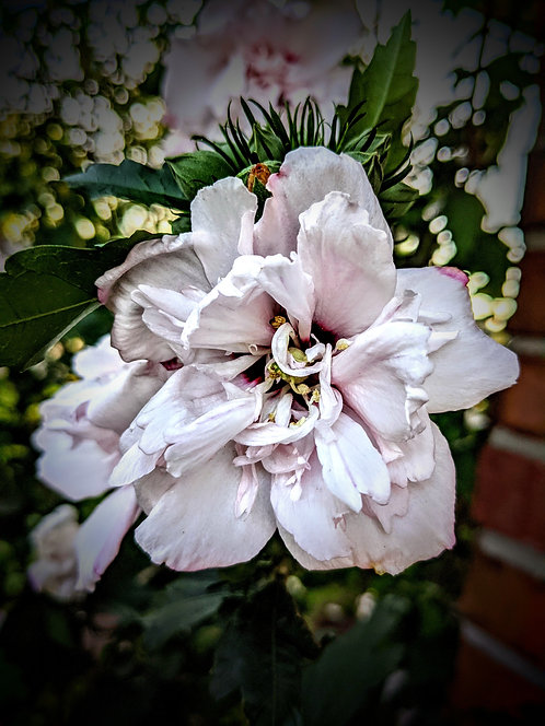 Asher's Rose of Sharon