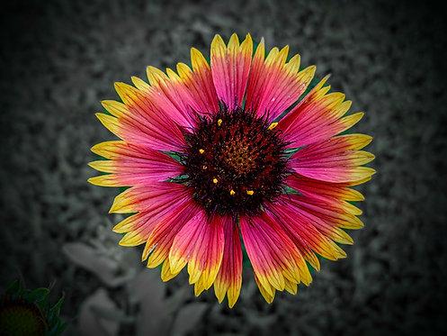 Asher's Blanketflower #1