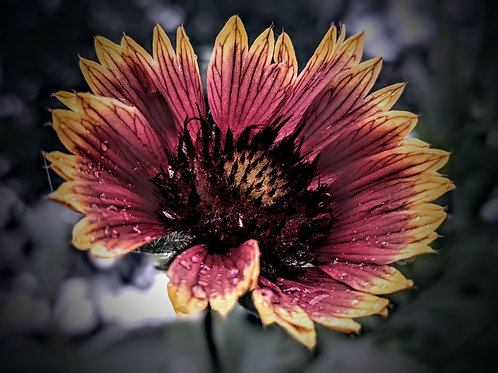 Blanketflower After the Storm by Asher