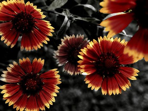 Dark Blanketflowers by Asher