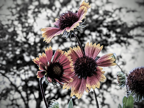 Blanketflower Family by Asher