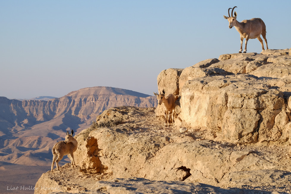 Capra mother and children, Ramon crater Israel
