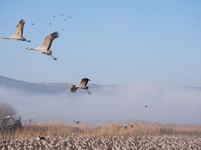 Cranes at hula lake-above the  nountains