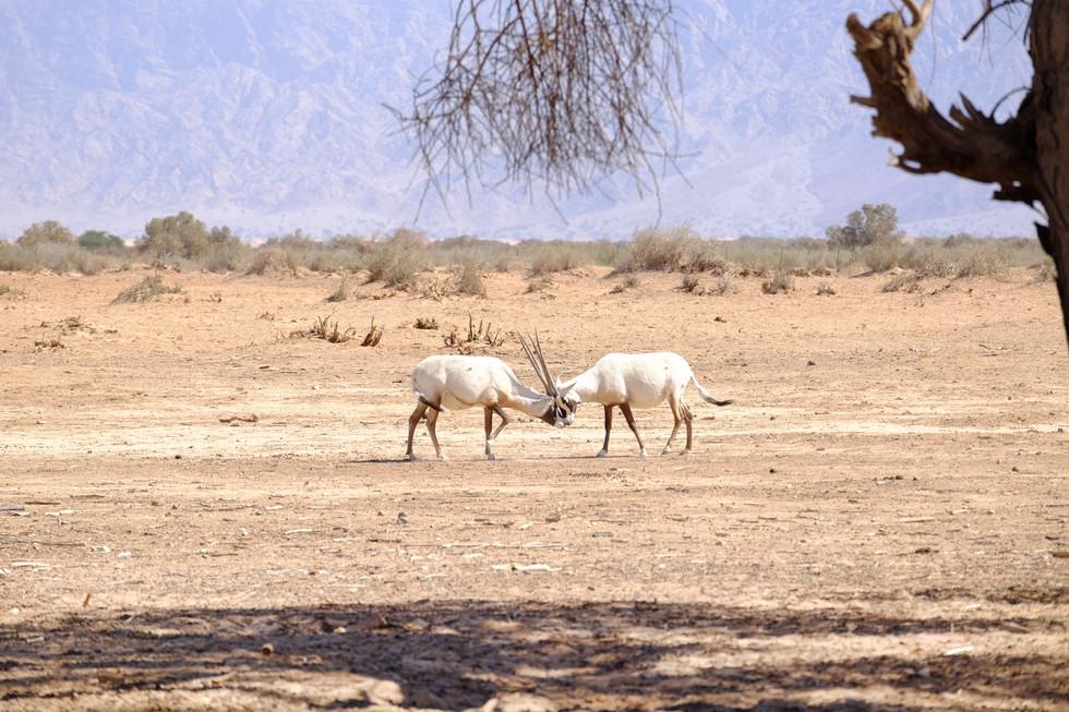 Wild life, Arava, south of Israel