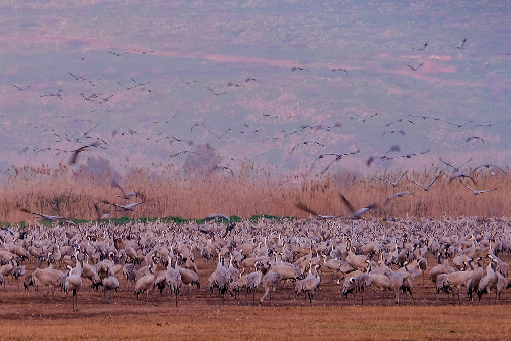 pictures from Hula lake-cranes at sunset, Israel