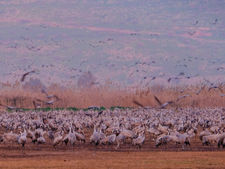 cranes at sunset-pictures from Hula lake