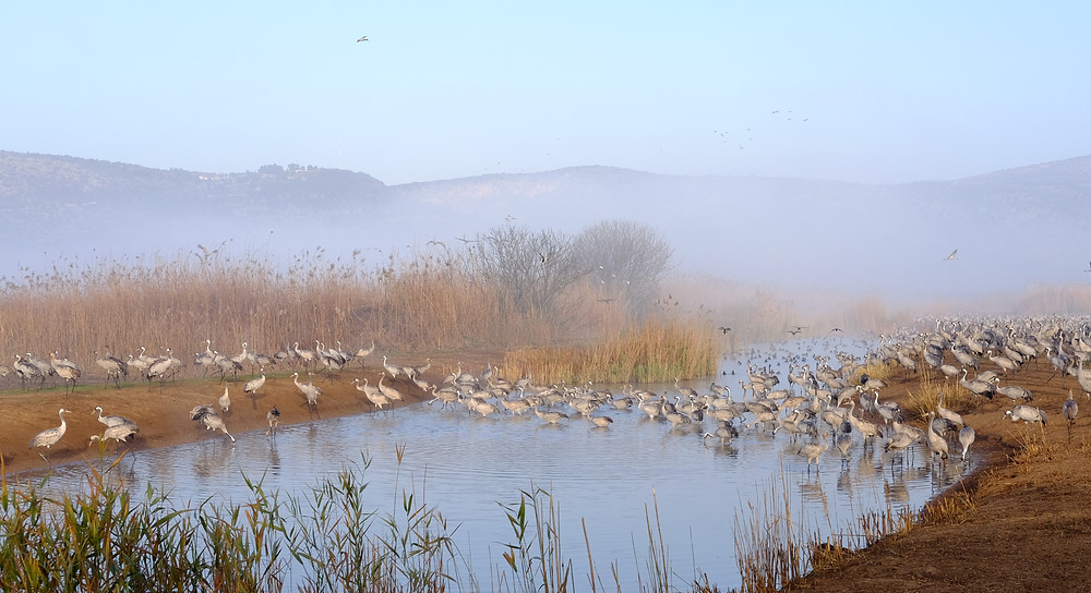 Cranes crossing the lake, Hula valley. Israel
