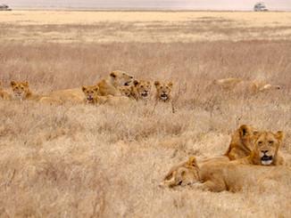 lions, Tanzania, Africa.jpg