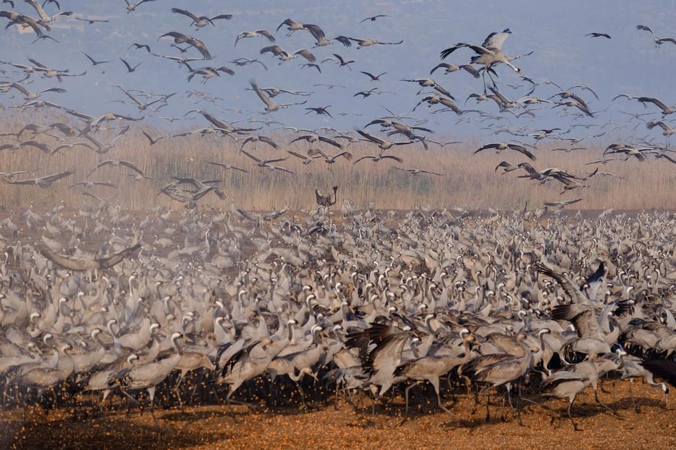 Cranes feeding at Hula valley, Israel