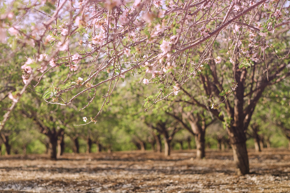 almonds blossom in pink
