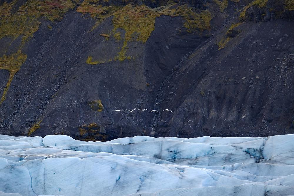 birds at Svinafelljokull iceberg lagoon. Iceland