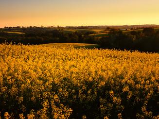Mustred field in sunset .jpg