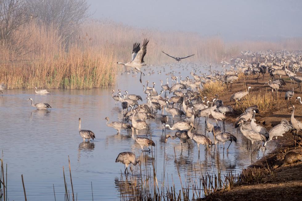 Cranes crossing the lake
