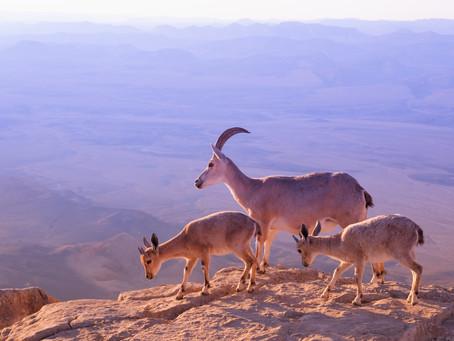 Fabulous nature-Ibex at Ramon Crater