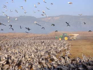 Cranes, Hula valley, Israel.JPG