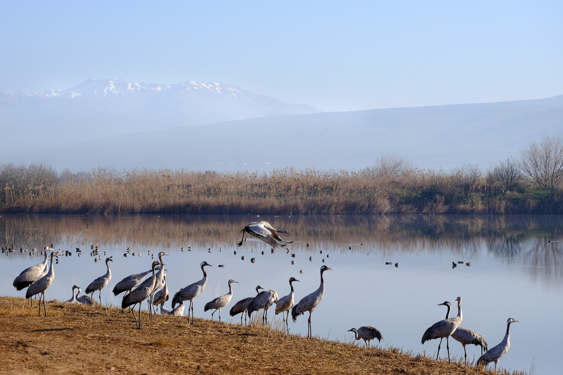 cranes at the lake, after the fog cleared