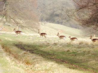 deers in Deyrhaven