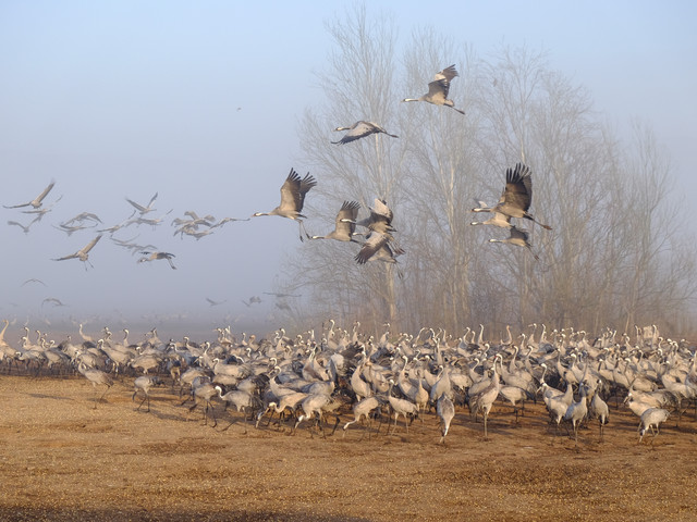 Cranes over the enchanted tree.jpg