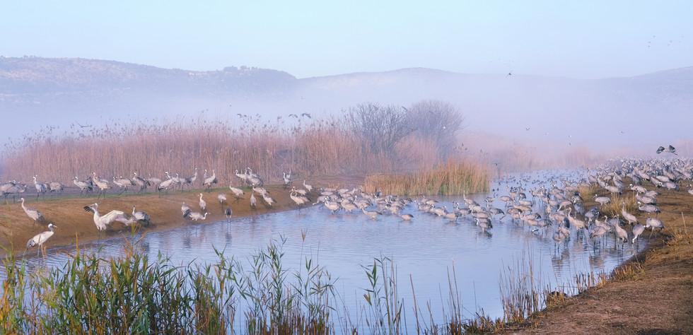 Cranes crossing the lake, Hula valley
