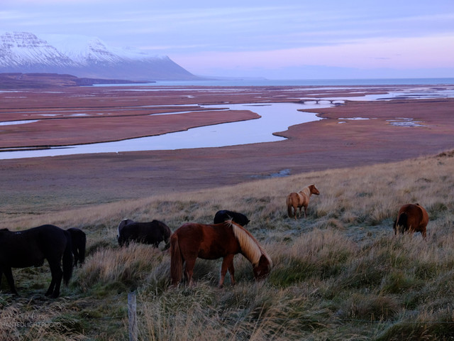 ucelandic horses, nothern Iceland, sunri