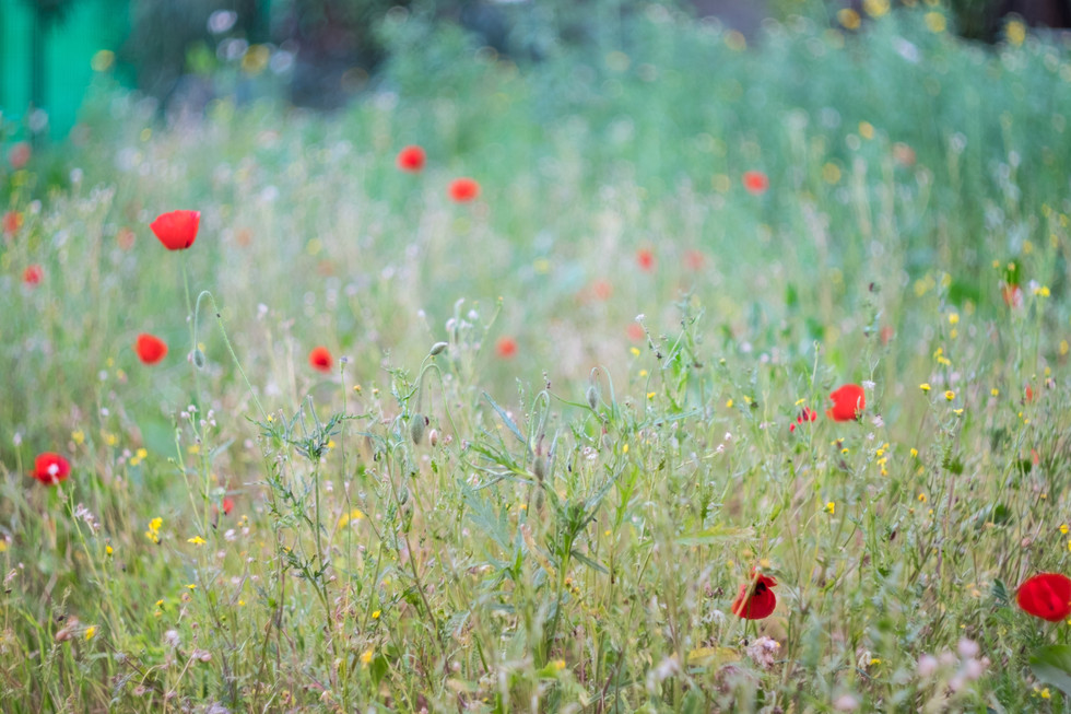 wild flowers at spring, blue and red
