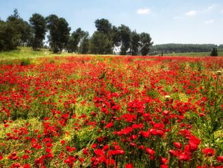 poppyies, red field