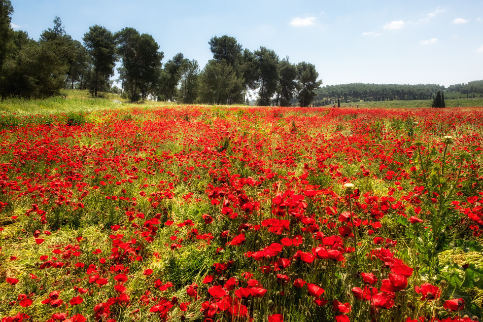 poppies, red field