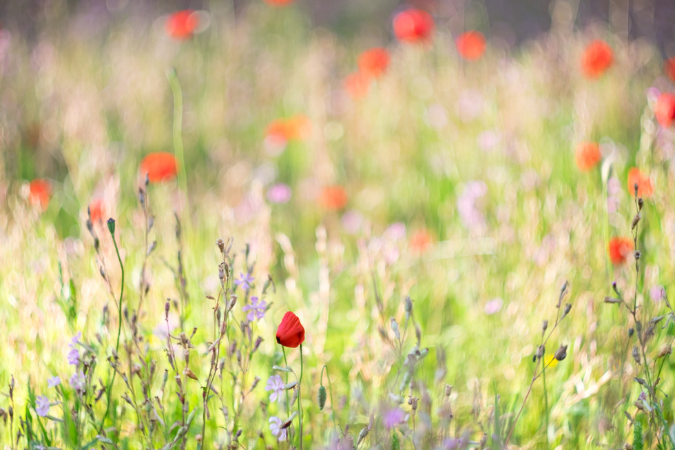 Wild flowers at spring, lilach and red