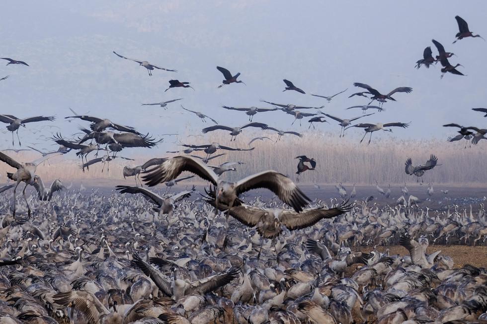 Racing for food-Cranes at Hula vally