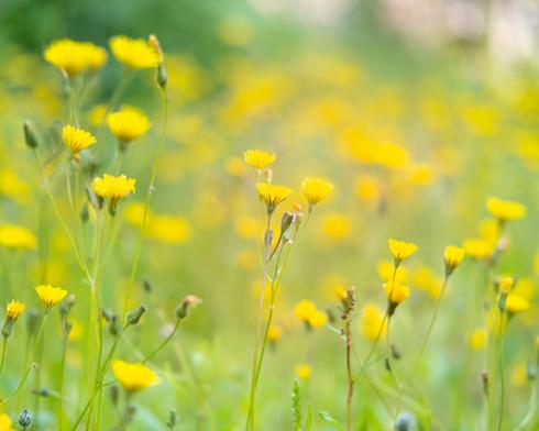 yellow wild flowers.jpg