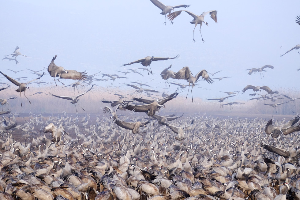 Cranes at Hachula lake-preapere to landing