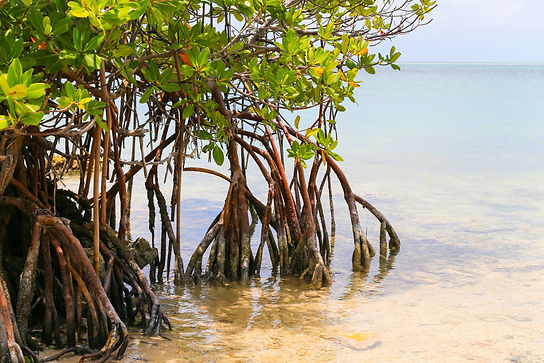 Multiple mangrove trees are growing out of calm sea water. Their roots are exposed to the air and their leaves are a a light green.