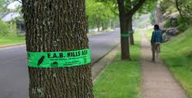 Emerald Ash Borer Confirmed in Larimer County