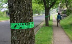 Emerald Ash Borer Confirmed in Larimer County